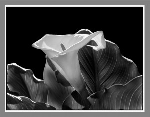 "Print B&W Third Place, Murth Murthy, ""Lily"""