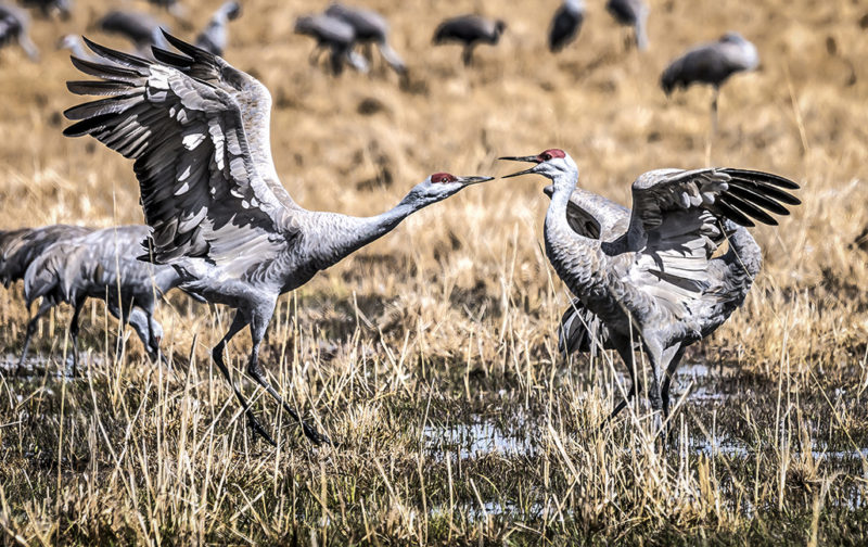 "Honorable Mention, Digital Special Topic, ""Cranes,"" Bruce Henderson"
